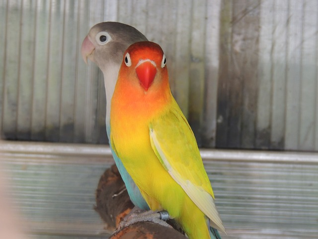 pestrobarevní papoušci